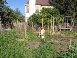 THe first year: weeds are slowly being replaced with peas.