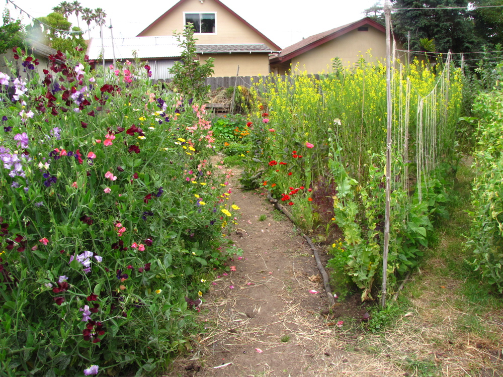 Sweet peas blossom on the left while red mustards bolt and shoot up yellow flowers, a forest 6 feet high.l